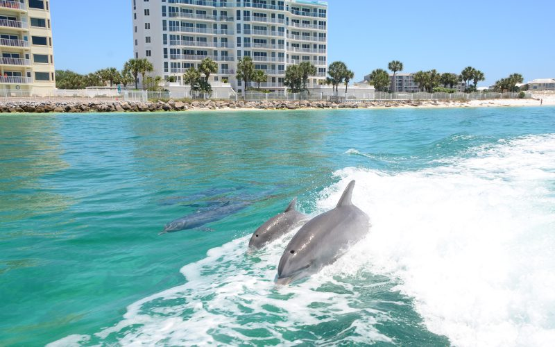 dolphin pod swimming in wake of boat gulf of mexico